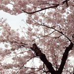 広島の名勝 縮景園にお花見に行ってきたよ!
